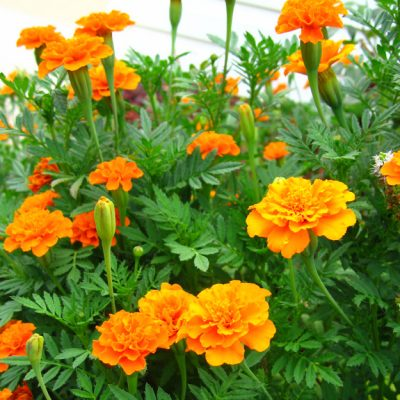 5 Plants that Help Repel Mosquitoes Naturally